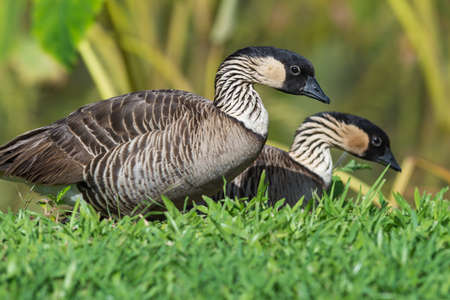endangered species: the nene is a very endangered species on the hawaiian islands Stock Photo