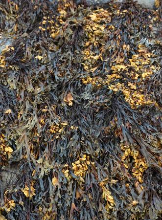 alga marina: Primer plano de algas de irlanda Foto de archivo