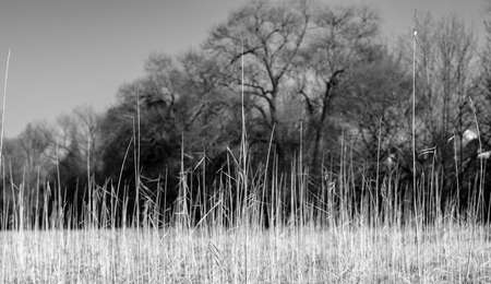 black and white landscape with dry reed in the foregroud