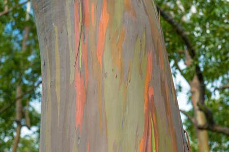 ガムの木ハワイ マウイ島 写真素材