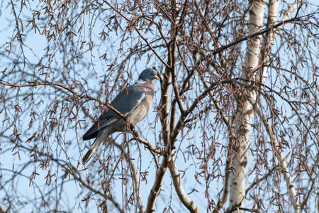 common wood pigeon in a birch tree Reklamní fotografie