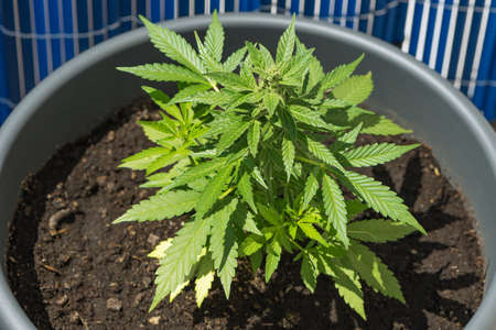 young cannabis plant in a flower pot Stock Photo