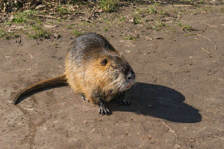 nutria common in urban landscape
