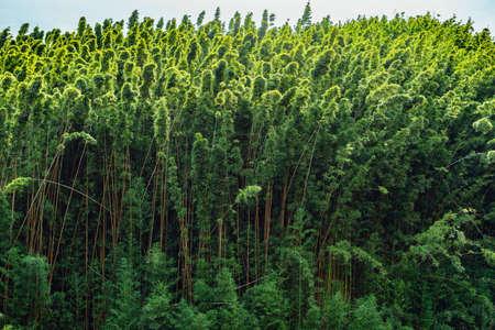 bamboo at the road to hana maui hawaii