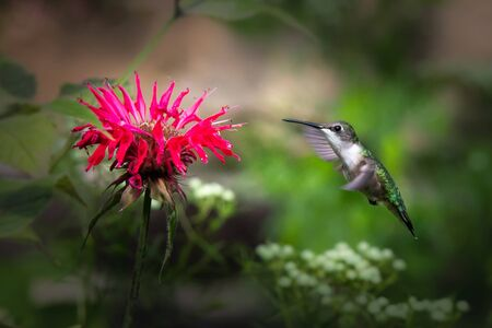 A male ruby-throated hummingbird approaches a bee balm red perrenial flower Stock fotó