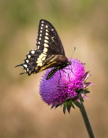 A vertical closeup of a black swallowtail butterfly on a pink thistle flower Stock Photo