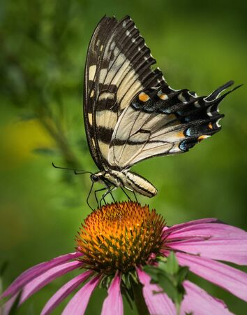 A black and yellow swallowtail butterfly feeds on a bright orange coneflower in a Pennsylvania meadow Stock Photo