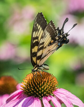 A black and yellow swallowtail butterfly leans in for some nectar on a coneflower in a bright Pennsylvania meadow Stock Photo