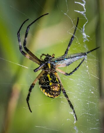 A black and yellow garden spider grasps a dragonfly victim caught in its web 版權商用圖片