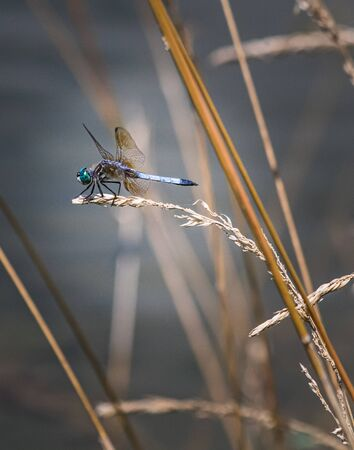 A blue dasher poised to take off from a plant next to a pond in Berks County, Pennsylvania 版權商用圖片