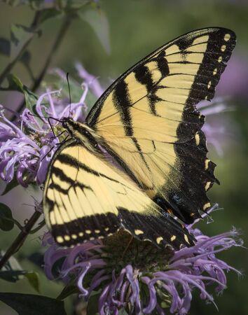 A yellow swallowtail butterfly feeing on a bergamot flower in a meadow in eastern Pennsylvania