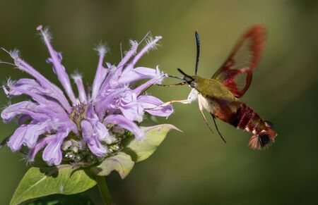 A clearwing hummingbird moth feeds on nectar from a purple bee balm flower