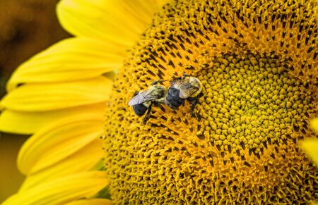 Two bumblebees gathering pollen from a bright yellow sunflower in a Pennsylvania field in summer