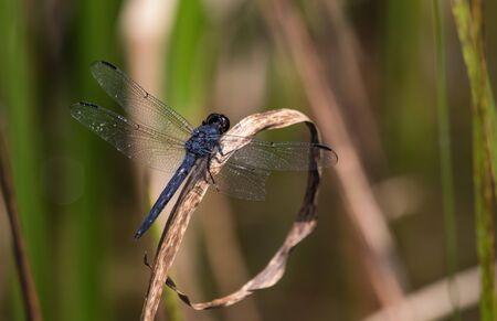 A slaty skimmer dragonfly next to Scotts Run Lake in eastern Pennsylvania