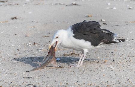 A seagull grasps a fish and drags it away from rivals before lunch