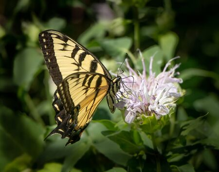 Eastern tiger swallowtail butterfly feeds on a a bee balm flower in a thick Pennsylvania meadow