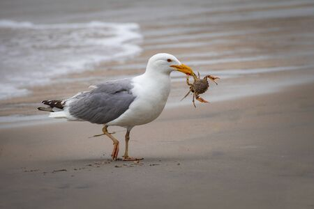 A seagull carries its crab victim along the beach with surf in the background