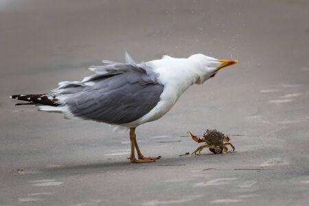 A seagull contorts its head to watch a crab protest its capture