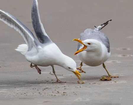 Two herring gulls fight over what's left of a small crab meal on the beach at Holgate, NJ