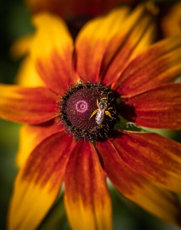 A hover fly walking on the center of a black-eyed susan flower in summer in Berks County, PA