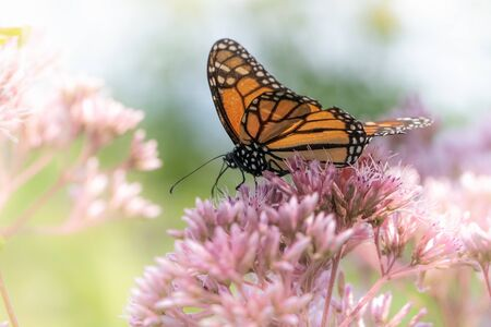 A monarch butterfly works its way through a stand of pink flowers in a high key floral background