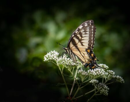 A yellow swallowtail butterfly feeds on some small white flowers against a dark blurred vignette background