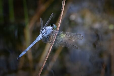 A blue dasher dragonfly in its natural habitat in eastern Pennsylvania