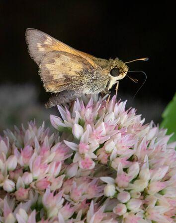 Close up of a fiery skipper butterfly feeding on flowers in Berks County, PA Stockfoto