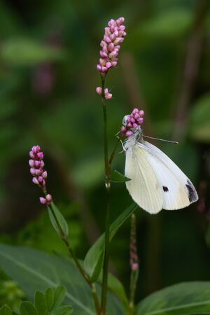 A cabbage white butterfly on some small purple flowers against a blurred natural background