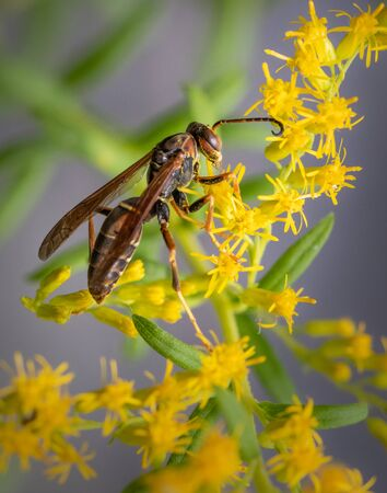 A paper wasp feeds atop a bunch of small yellow flowers Banque d'images