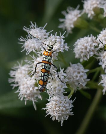 An orange black and white moth feeds against a blurred natural background