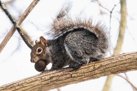 A red squirrel with a nut in its mouth crouches on a tree branch before putting it away for the winter Banco de Imagens