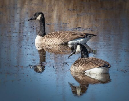 Two Canadian Geese and their reflections paddle quietly in a pond in eastern Pennsylvania