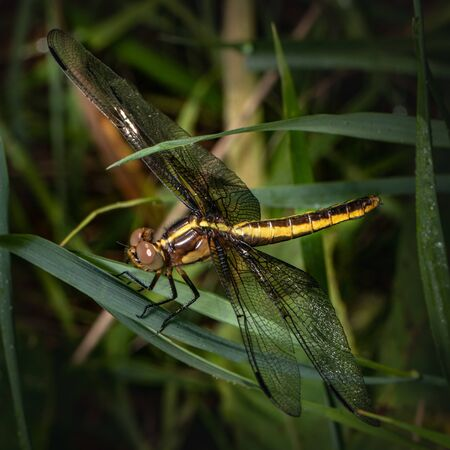 Close up of a yellow and brown dragonfly resting amid a profusion of green leaves