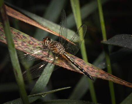 A sandddragon dragonfly in the midst of a thicket of sawgrass in eastern Pennsylvania