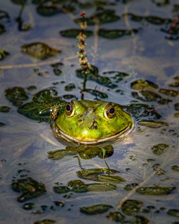 Head shot of a bullfrog cooling off in a pond thick with water plants