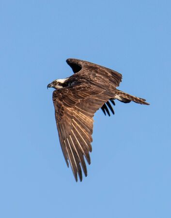 An osprey with wings extended in flight against a blue sky