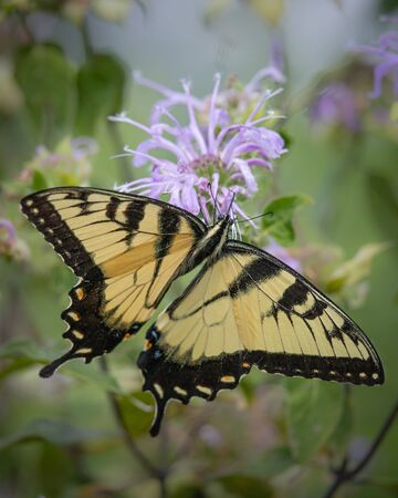 Close up of a black and yellow Giant Swallowtail butterfly on a bee balm plant in a Pennsylvania meadow in summer 免版税图像
