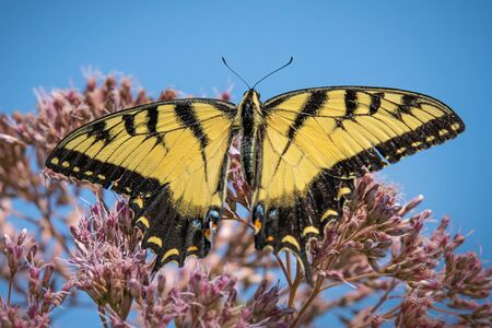 Close up of a black and yellow Giant Swallowtail butterfly on some pink flowers in a Pennsylvania meadow