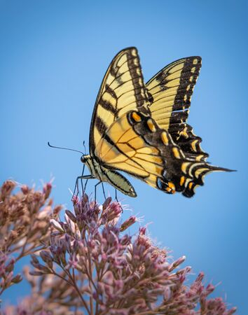 Close up of a black and yellow Giant Swallowtail butterfly on a pink flowering plant against a blue summer sky
