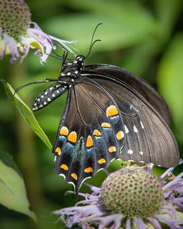 Close up of a black swallowtail butterfly enjoying a meal of nectar from some bee balm flowers