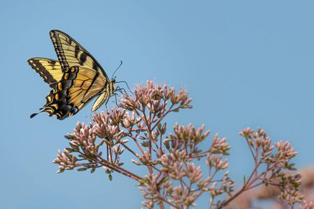 A black and yellow Giant Swallowtail butterfly on some pink flowers in a summertime meadow
