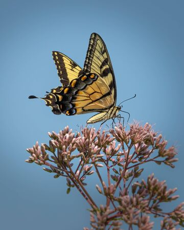 Close up of a black and yellow Giant Swallowtail butterfly feeding with a clear blue sky background