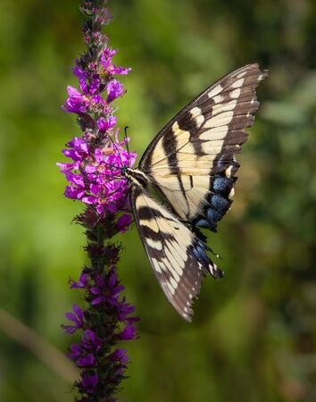Close up of a black and yellow Giant Swallowtail butterfly on some purple flowers in a Pennsylvania meadow in summer