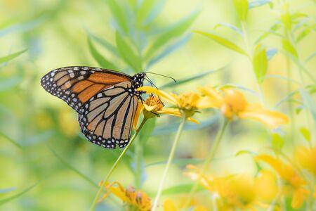High-key portrait of a monarch butterfly feeding in a bright Pennsylvania meadow
