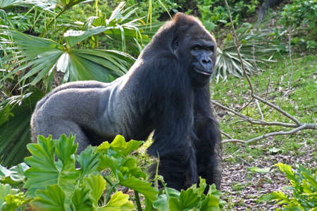 A large silverback - looks like hes grinning - he must know something we dont photo