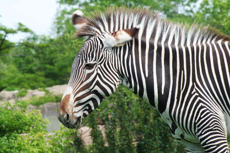 flicking: Closer view of Zebra head flicking its ears Stock Photo