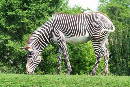 Complete shot of Zebra on a hill
