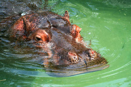 A hippopotamus face floating in the green water