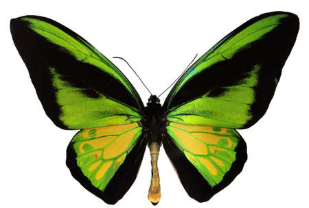 exotic butterflies: Goliath Birdwing Butterfly - Ornithoptera Goliath - the second-largest butterfly in the world. Stock Photo